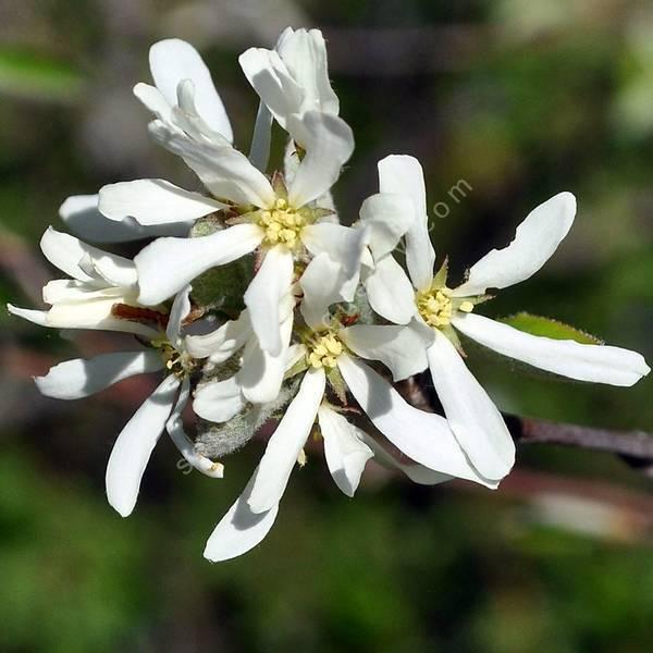 Amelanchier ovalis - Amélanchier commun