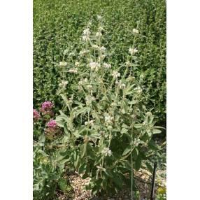 Phlomis purpurea 'Alba' - Sauge de Jérusalem blanche