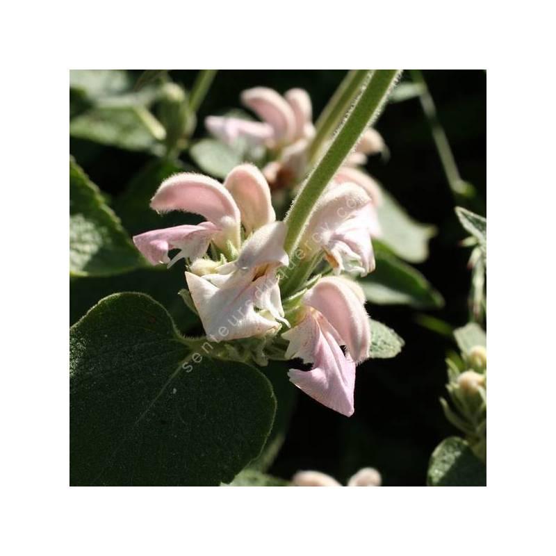 Phlomis bovei subsp. maroccana - Sauges de Jérusalem rose