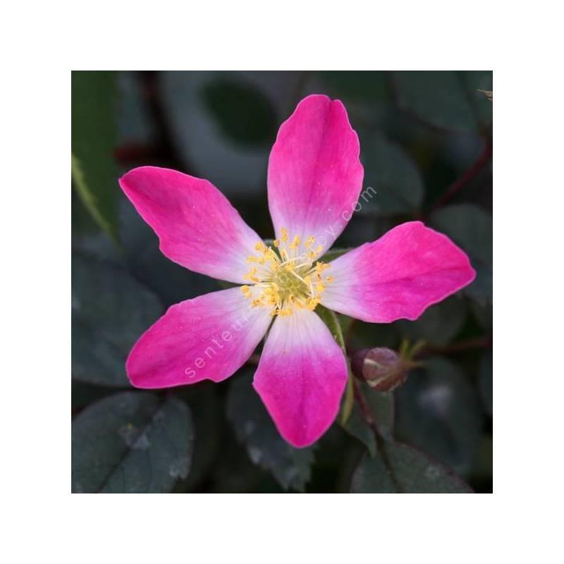 Rosa glauca - Rosier glauque