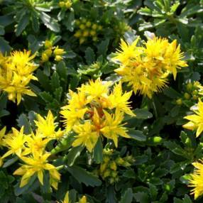 Sedum floriferum 'Weihenstephaner Gold' - Phedimus