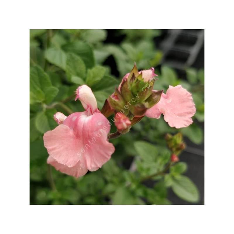 Salvia 'Aphrodite' - Sauge arbustive rose tendre