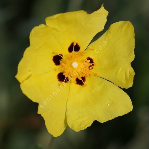 Cistus halimifolius -  Ciste à feuille d'obiome