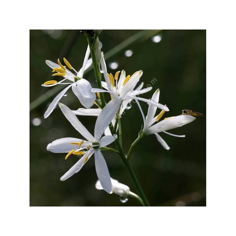 Anthericum liliago - Phalangère à fleurs de Lys