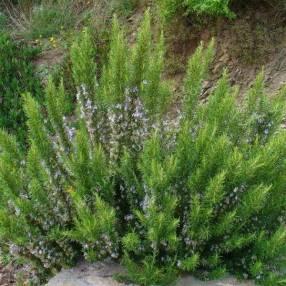 "Rosmarinus officinalis ""Verbenoniferum"" - Romarin à verbénone"