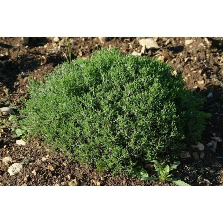 Santolina chamaecyparissus subsp. squarrosa