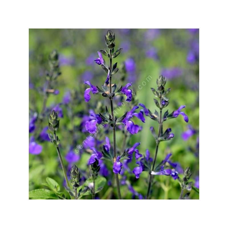 Salvia 'Féline' - Sauge arbustive bleu violet