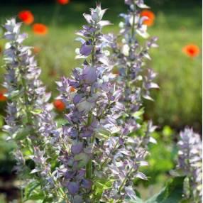 Salvia sclarea var. turkestanica - Sauge sclarée du Turkestan