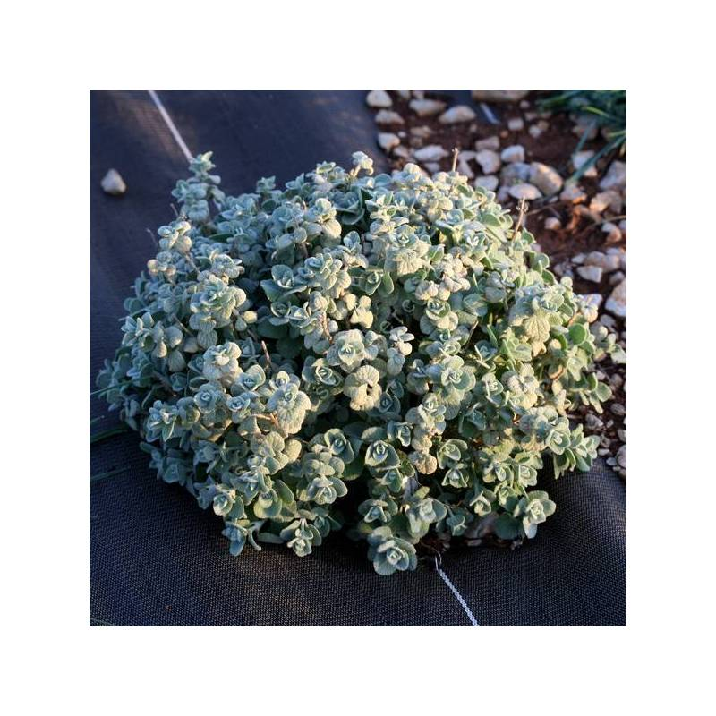 Ballota acetabulosa - Herbe à veilleuse