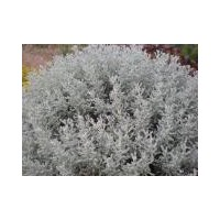 Santolina chamaecyparissus 'Lambrook Silver'