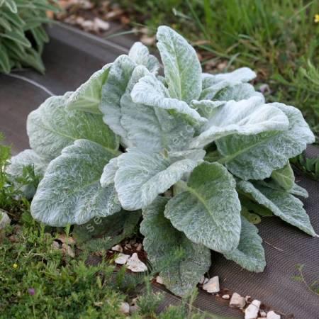 Salvia argentea - Sauge argentée