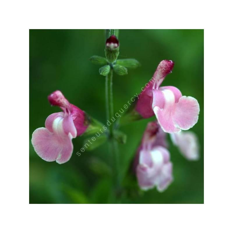 Salvia 'Lucia' - Sauge arbustive rose tendre