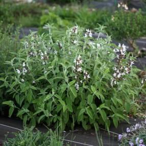 Salvia fruticosa 'Syracuse' - Sauge trilobée de Syracuse