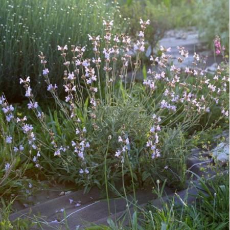 Salvia lavandulifolia subsp. blancoana - Sauge àfeuille de lavande
