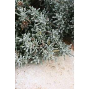 Santolina chamaecyparissus 'Lemon Queen'