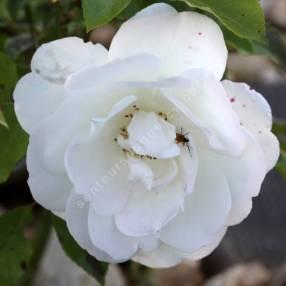 Rosa 'Iceberg' - Rosier 'Fée des Neiges'