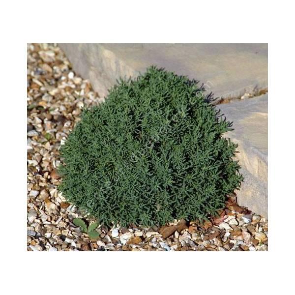 Santolina chamaecyparissus 'Small Ness' - Santoline naine