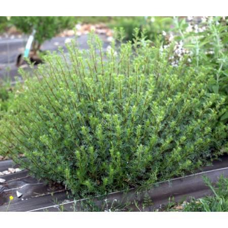 Artemisia campestris - Armoise champêtre
