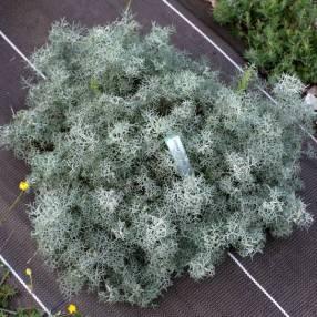 Artemisia 'Canescens' - Armoise d'Arménie
