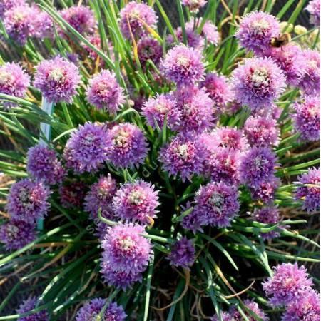 Allium schoenoprasum - Ciboulette
