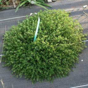 Thymus 'Typ Lammefjord' - Thym couvre-sol