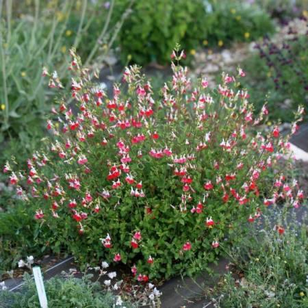 Salvia 'Hot Lips' - Sauge arbustive blanche et rouge