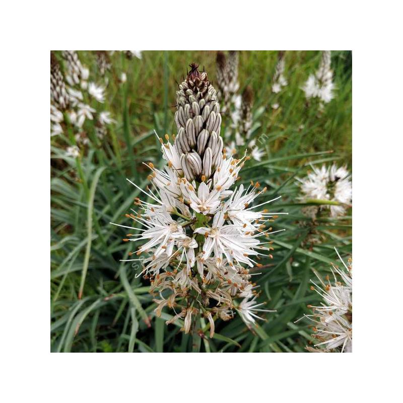 Asphodelus albus - Asphodèle blanche