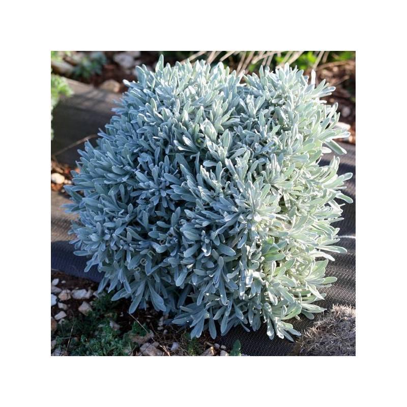 Helichrysum orientale - Immortelle d'orient