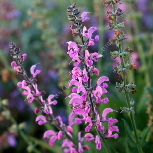Salvia pratensis 'Rose Rapsody' - Sauge des prés rose