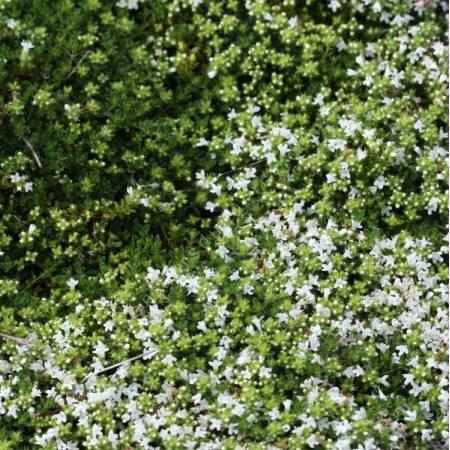 Thymus serpyllum 'Wirral White' - Serpolet à floraison blanche