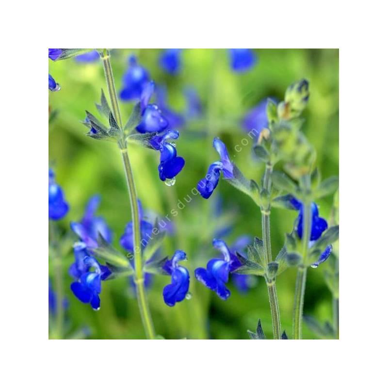 Salvia 'Bleu Armor' - Sauge arbustive bleue