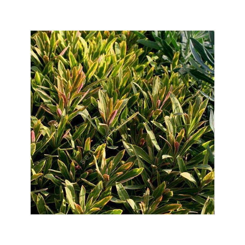 Euphorbia x martinii 'Ascot Rainbow' - Euphorbe