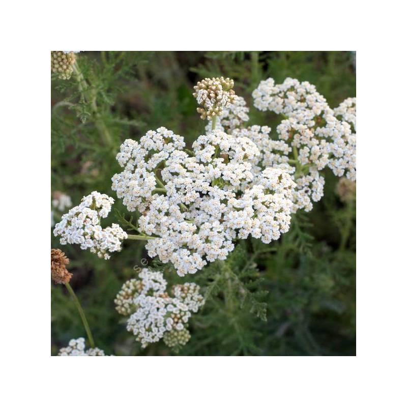 Achillea nobilis - Achillée noble