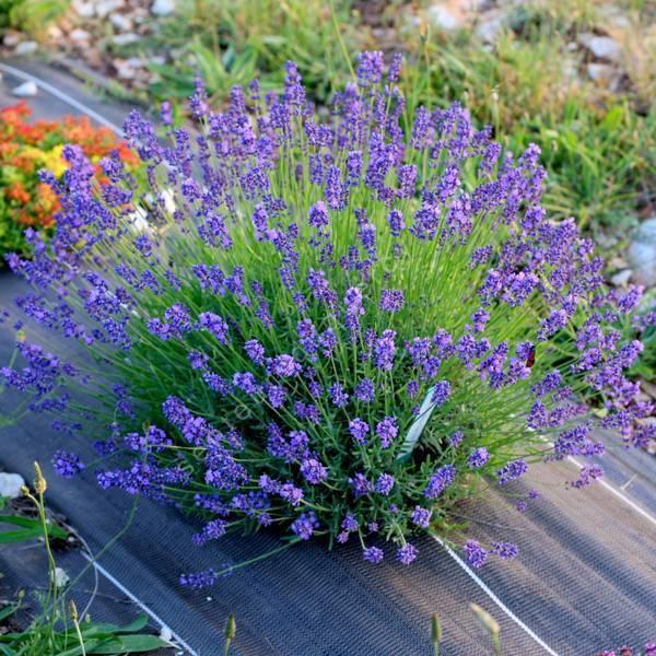 Lavandula angustifolia 'Bateau Bleu' - Vraie Lavande