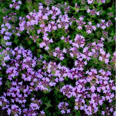 Thymus hirsutus - Thym couvre-sol