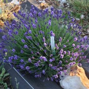 Lavandula angustifolia 'Thumbelina Leigh' - Vraie Lavande Naine