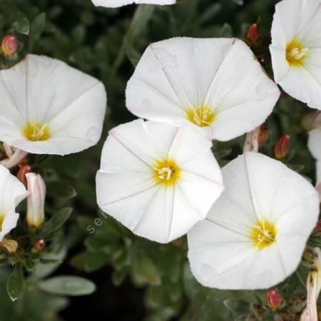 Convolvulus cneorum - Liseron argenté