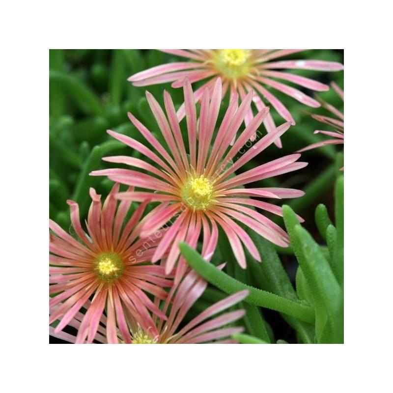 Delosperma 'Rose Saumon' - Pourpier vivace