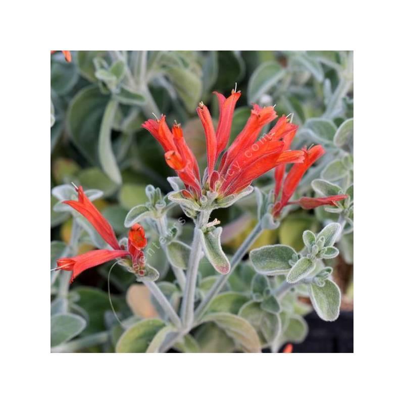 Dicliptera suberecta - Jacobinia