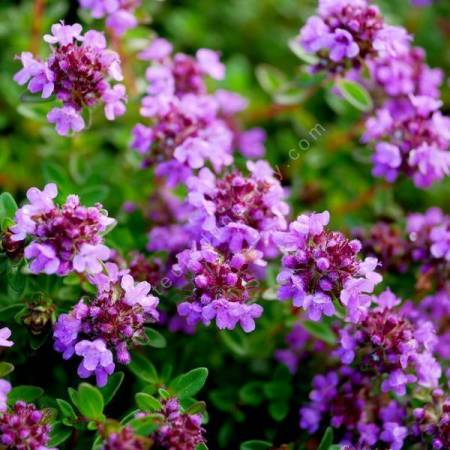 Thymus 'Typ Lammefjord' - Thym couvre-sol