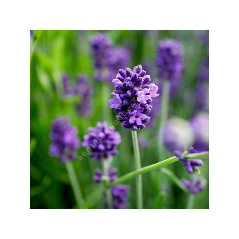 Lavandula angustifolia 'Blue Piston' - Vraie Lavande