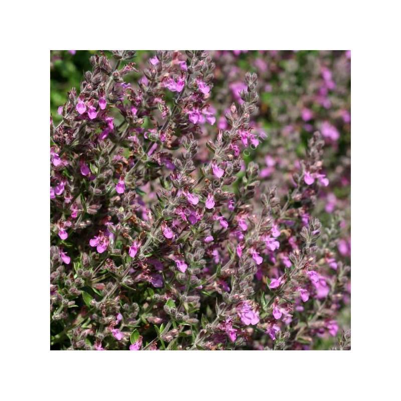 Teucrium x lucidrys - Germandrée