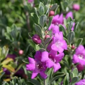 Leucophyllum frutescens 'Green Glory' - Sauge du désert