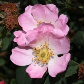 Rosa canina - Églantier - Gratte-Cul