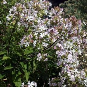 Saponaria officinalis ''fleur blanche'' - Herbe à savon