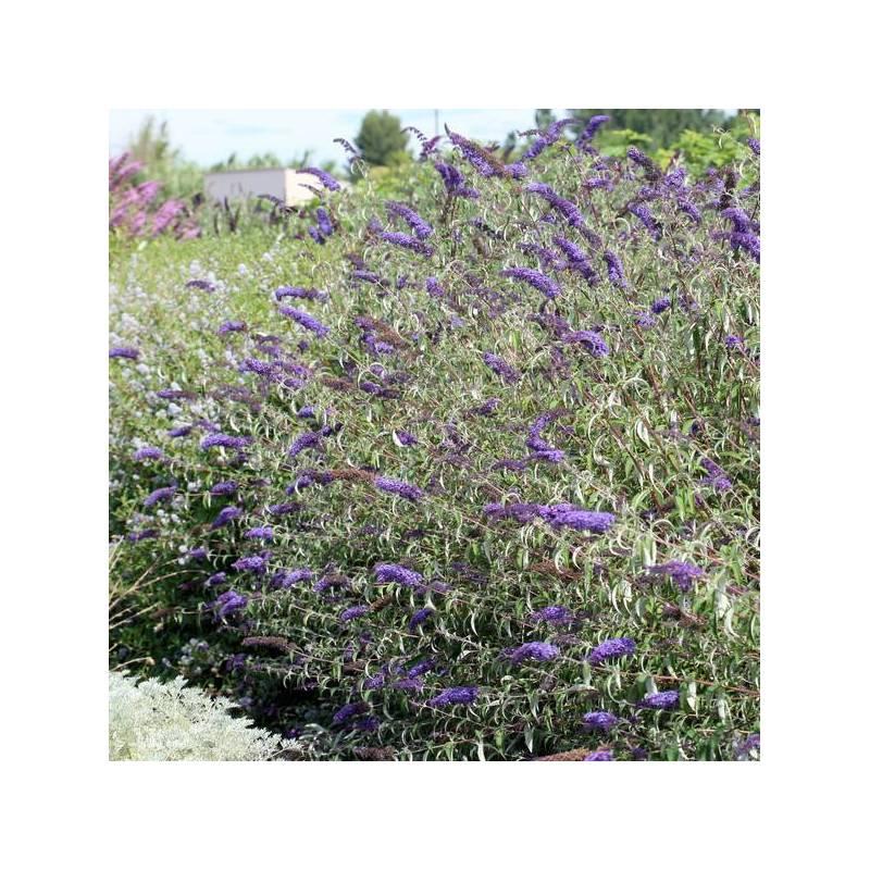 Buddleja davidii 'Nanho Blue' - Arbre aux papillons