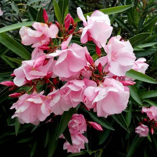 Laurier-rose 'Cavalaire' - Nerium rose double