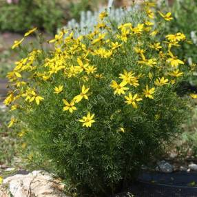 Coreopsis verticillata 'Zagreb' - Oeuil de jeune fille