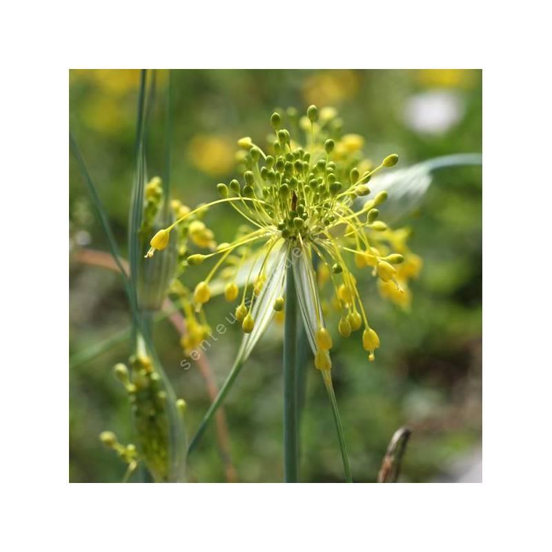 Allium flavum - Ail à floraison jaune