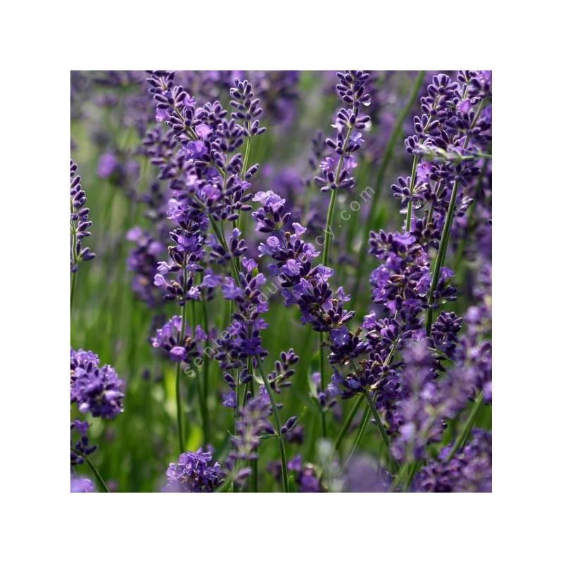 Lavandula angustifolia 'Forever Blue' - Vraie Lavande